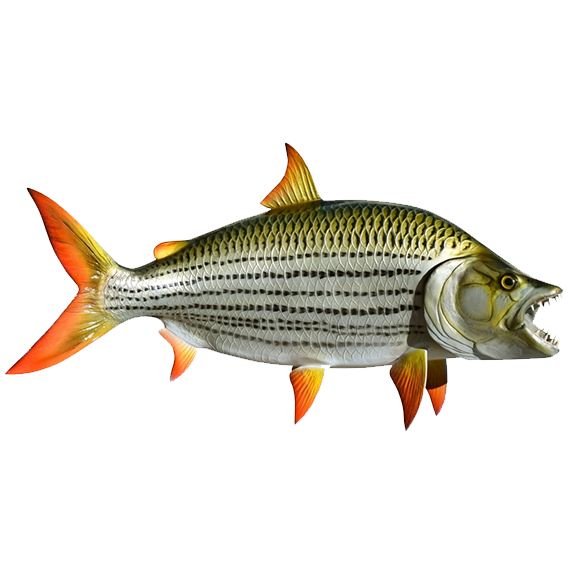 Tiger Fish Transparent